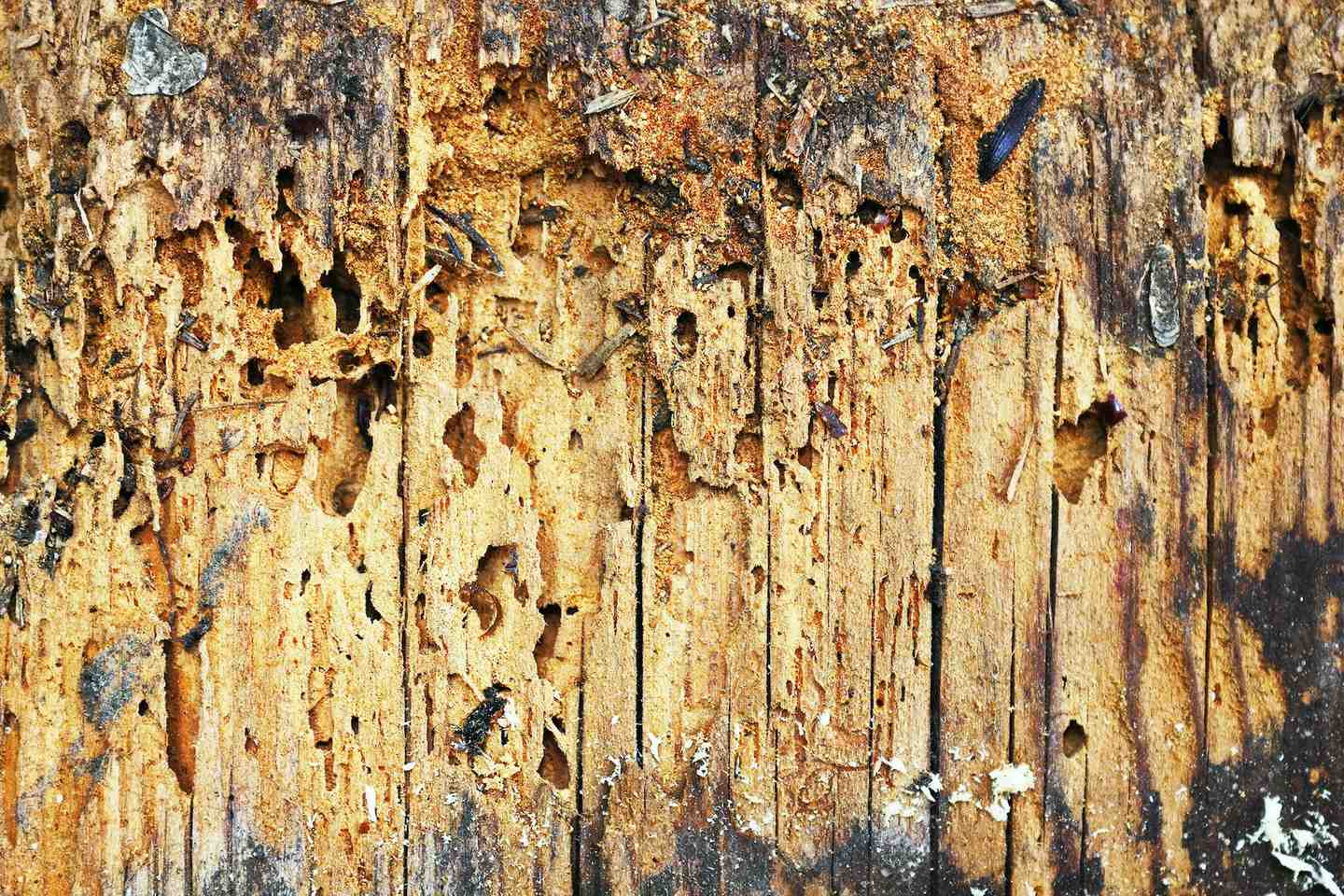 Woodworm damage close up showing damp timber and characteristic holes caused by Woodboring Beetle